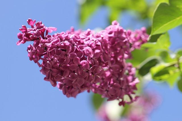 lilac-140200_640