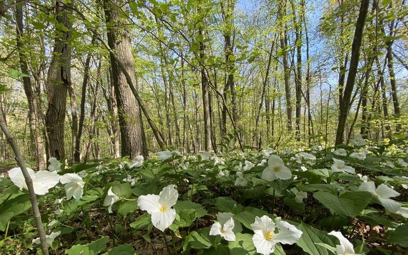 Aman Park wildflowers trillium