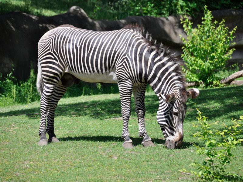 Zebra at the Detroit Zoo