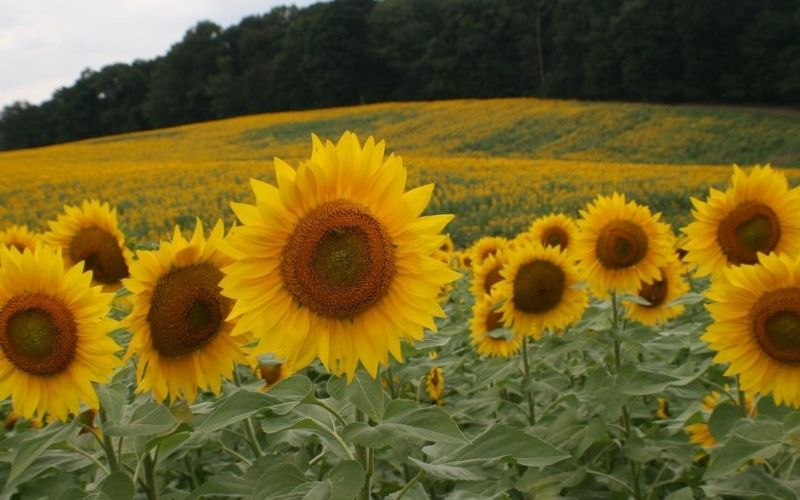 Debuck's Sunflower Fields in mIchigan