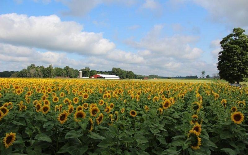 Hall Farm Sunflower Fields in Michigan