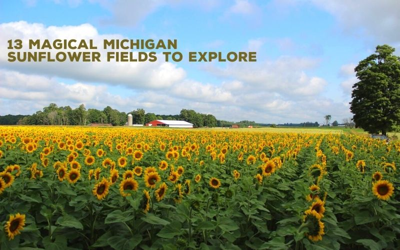 sunflower fields in michigan