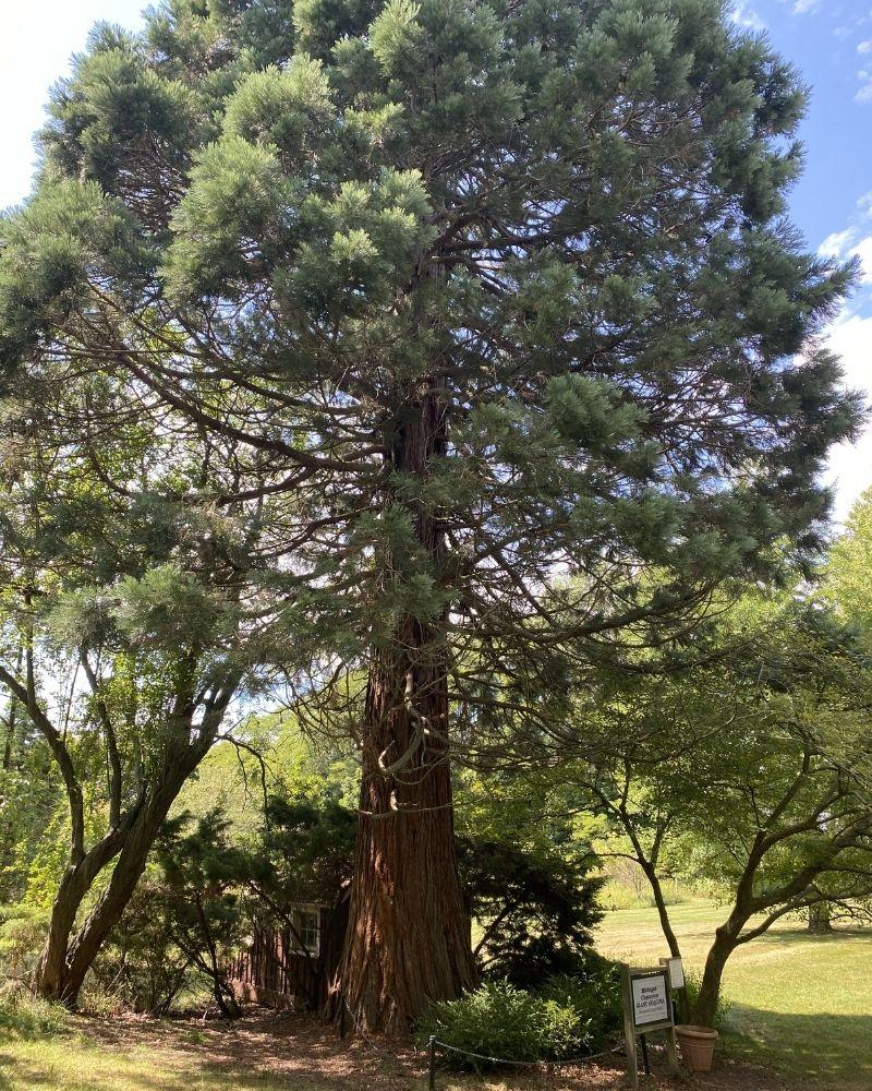 manistee mi giant sequoia tree