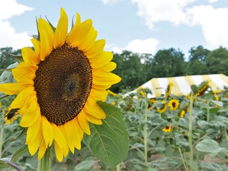 Westview Orchards Winery Sunflower Fields in Michigan