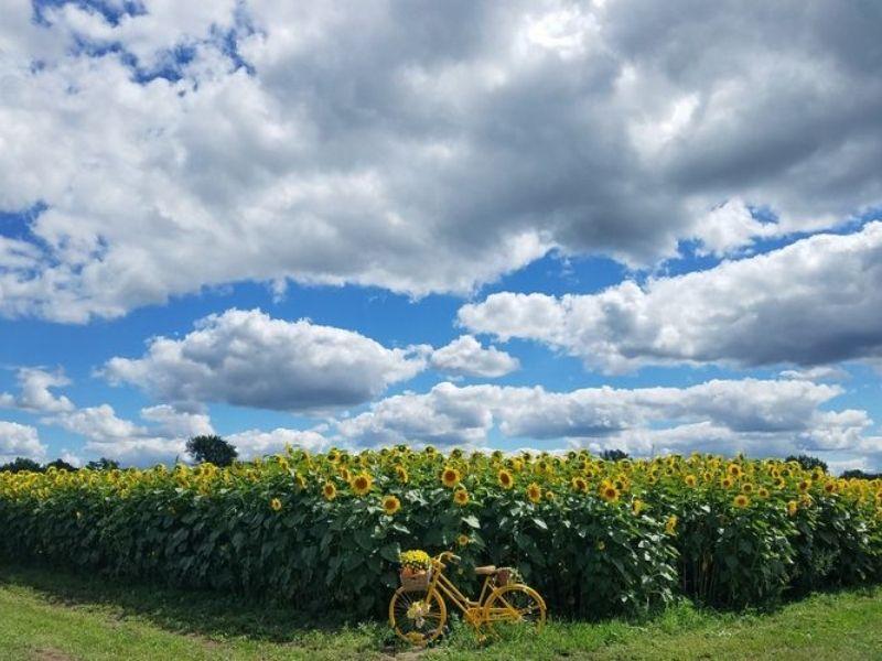 Grandpa Tinys Farm Sunflowers in Southeast Michigan