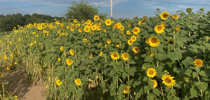 Eaton Kids Farm sunflowers