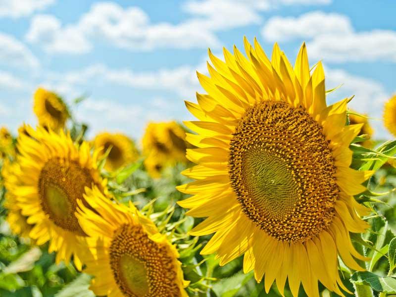 Gull Meadow farms sunflowers
