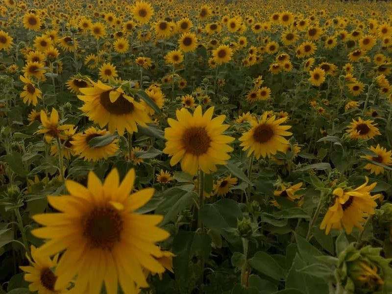 Liefde Farm sunflower field michigan