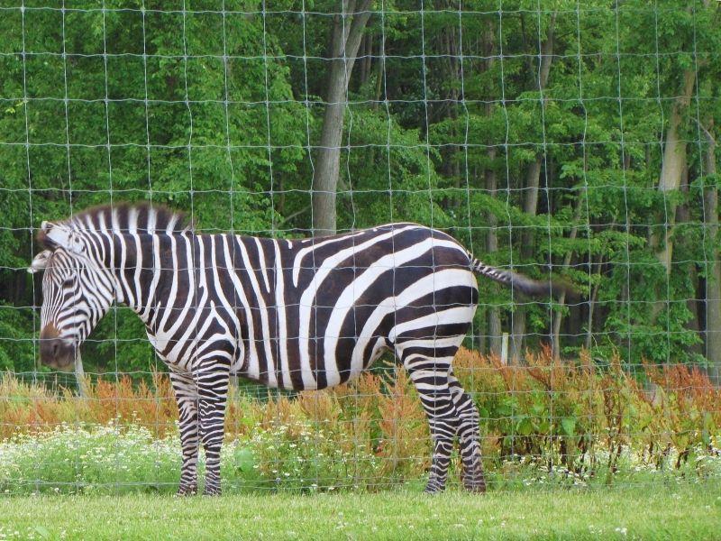 zebra at boulder ridge