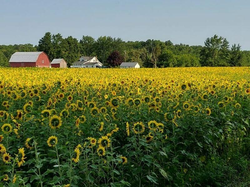 The Lone Oak Sunflower Farm