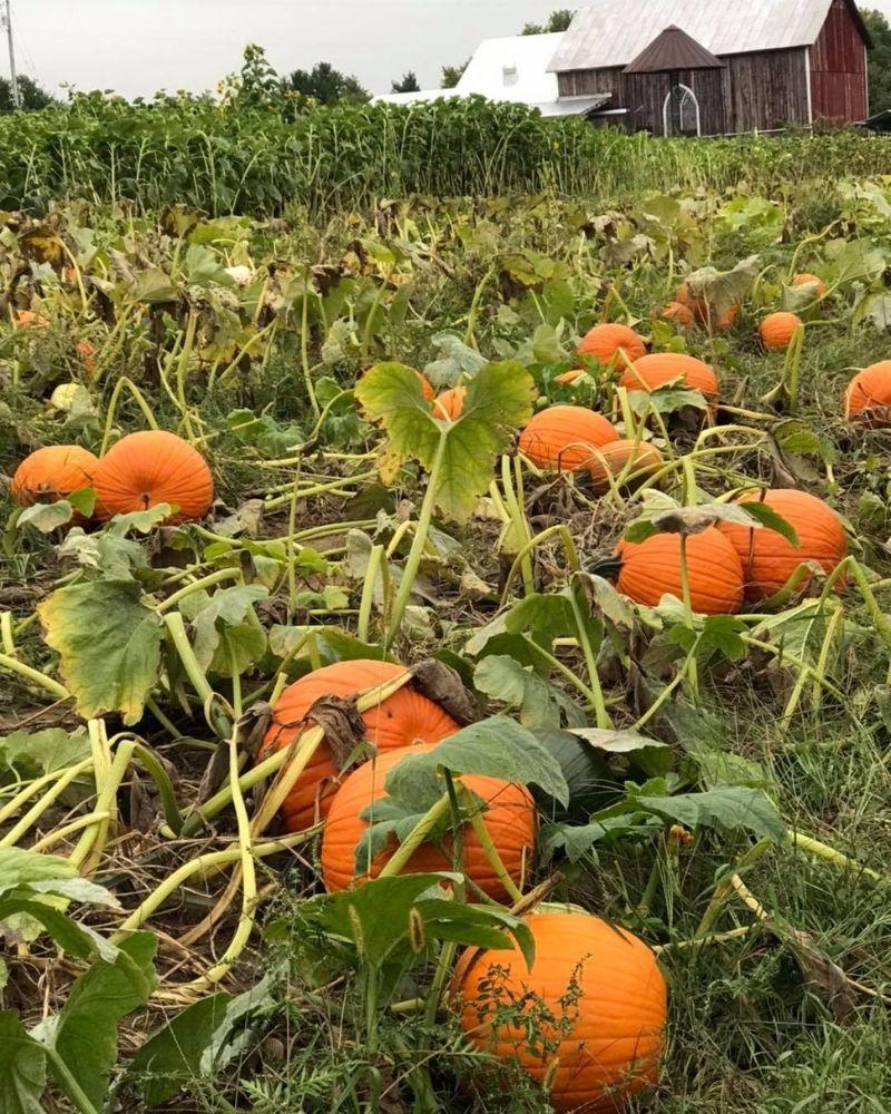 Rasch Pumpkin Patch