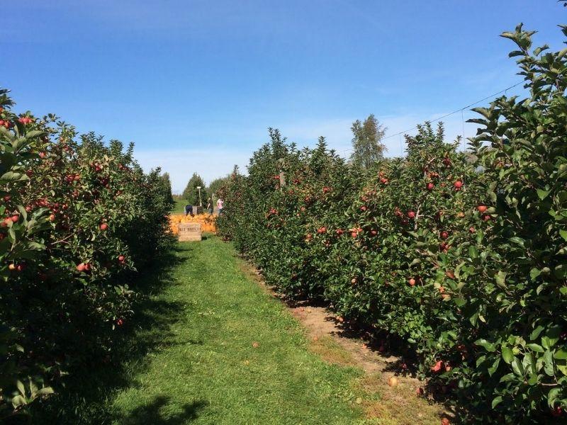 Schwalliers Apple Picking