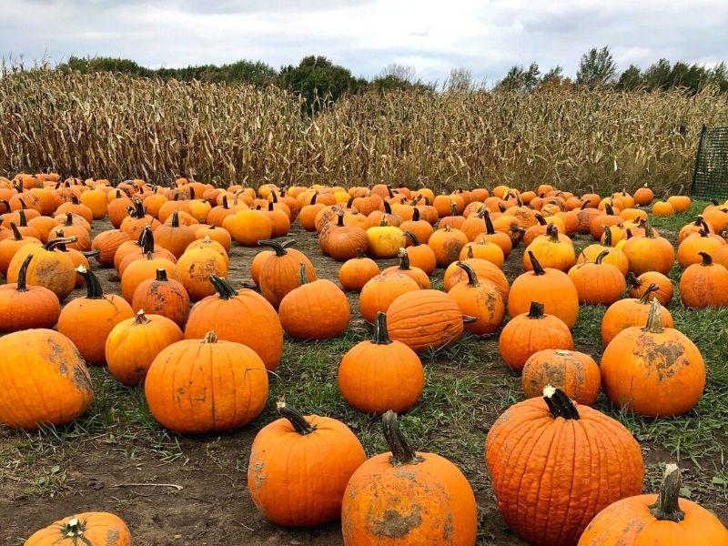Lewis Farms Pumpkin Patch